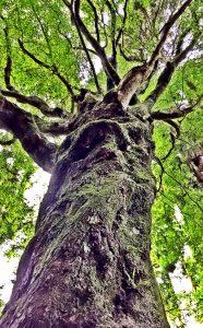 モミジの古木