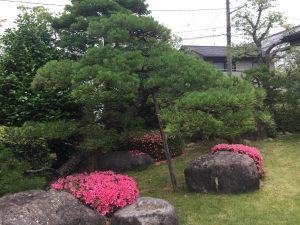 梅雨の時期 松の芽摘み