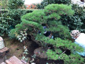 松の植栽 と 赤松の剪定
