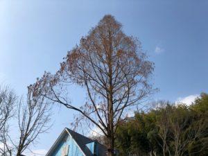 日出町で大木伐採
