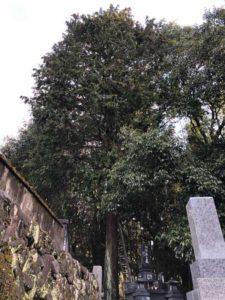 伐採 お墓の上 大木編