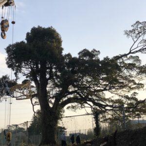 杵築高校で巨木の伐採